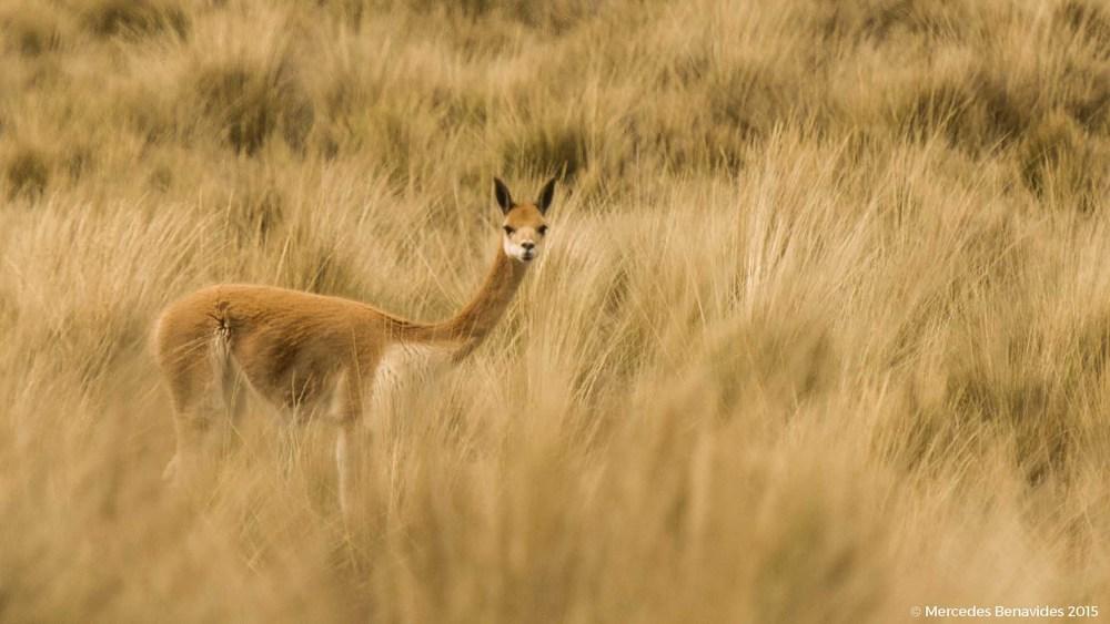 Vicuña / VIcuna (Vicugna vicugna)  IUCN: (LC) Menor preocupación / Least Concern  H á bitat: Ichu / Ichu grass
