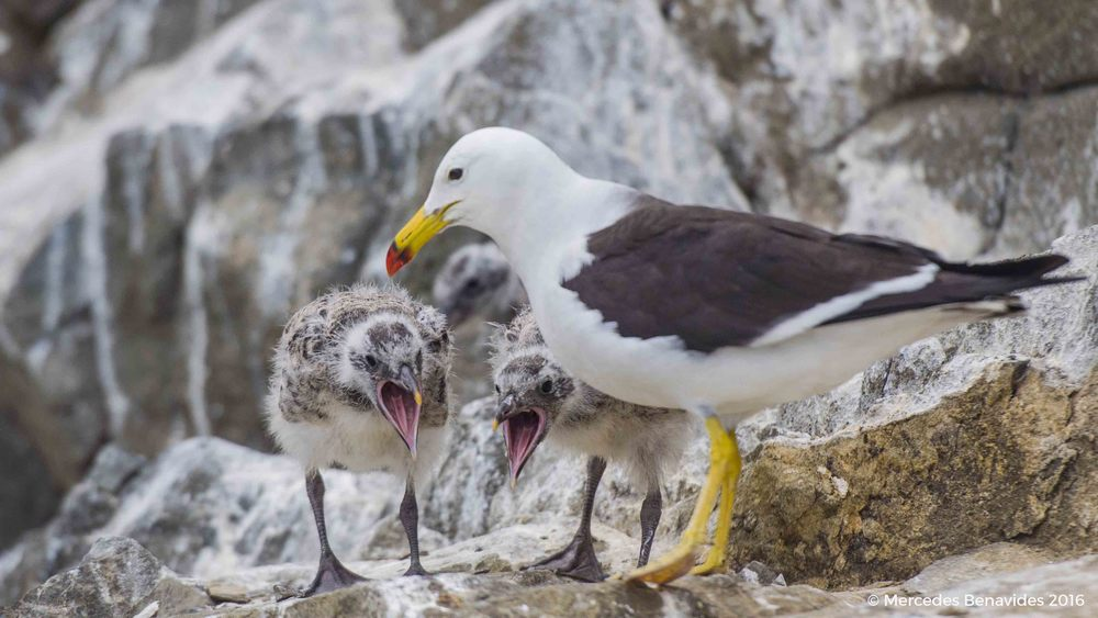 Gaviota Peruana / Belcher's Gull ( Larus Belcheri )  IUCN: (LC) Menor Preocupación / Least Concern  Pucusana, Lima, Peru