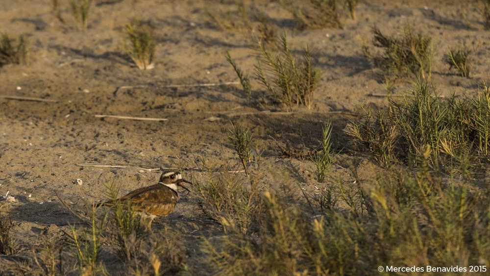 Chorlo Gritón / Killdeer ( Charadrius vociferus )  IUCN: (LC) Baja preocupación / Least Concern  Residente / Resident