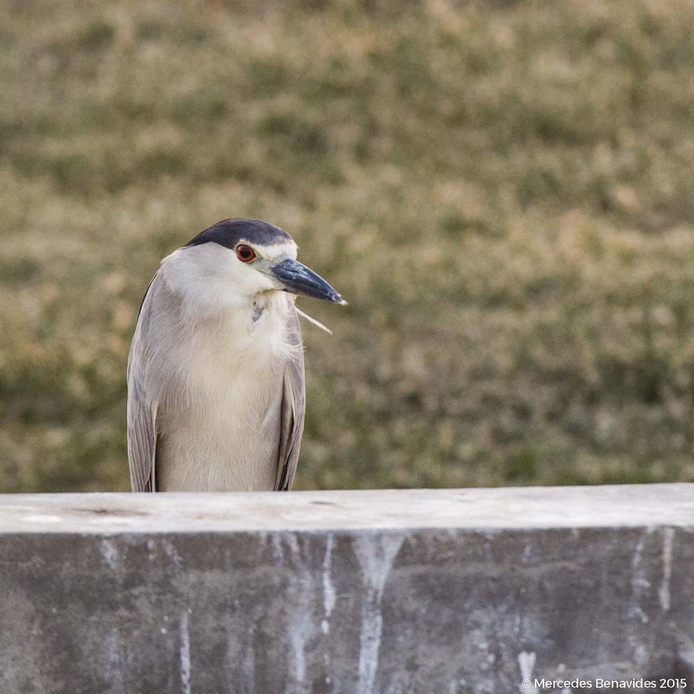 Garza Huaco / Black-Crowned Night-Heron (Nycticorax nycticorax)