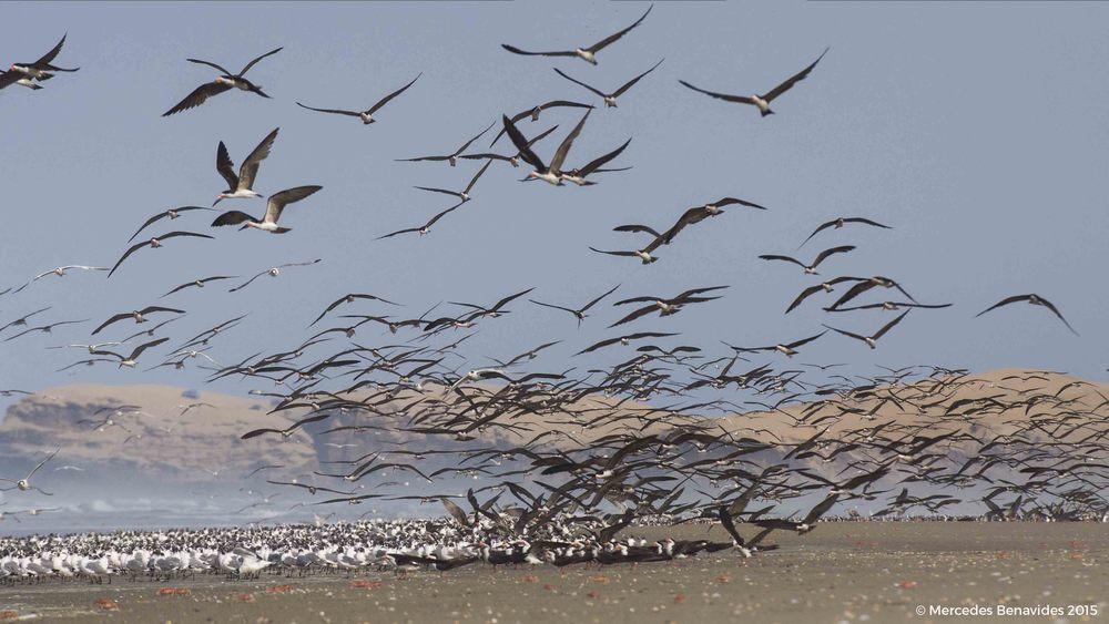 Gaviota de Franklin /  Franklin's Gu  ll  ( Larus pipixca n)Rayador /  Black Skimmer  ( Rynchops niger )  Migratoria Boreal / Boreal migrant                                      Migratoria Boreal / Boreal migrant  IUCN: (LC) Menor Preocupación / Least Concern  IUCN: (LC) Menor Preocupación / Least Concern
