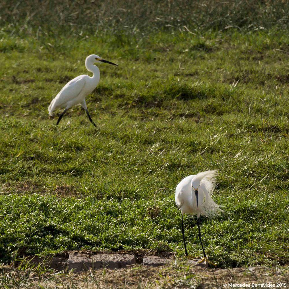 Garcita Blanca / Snowy Egret (Egretta thula)