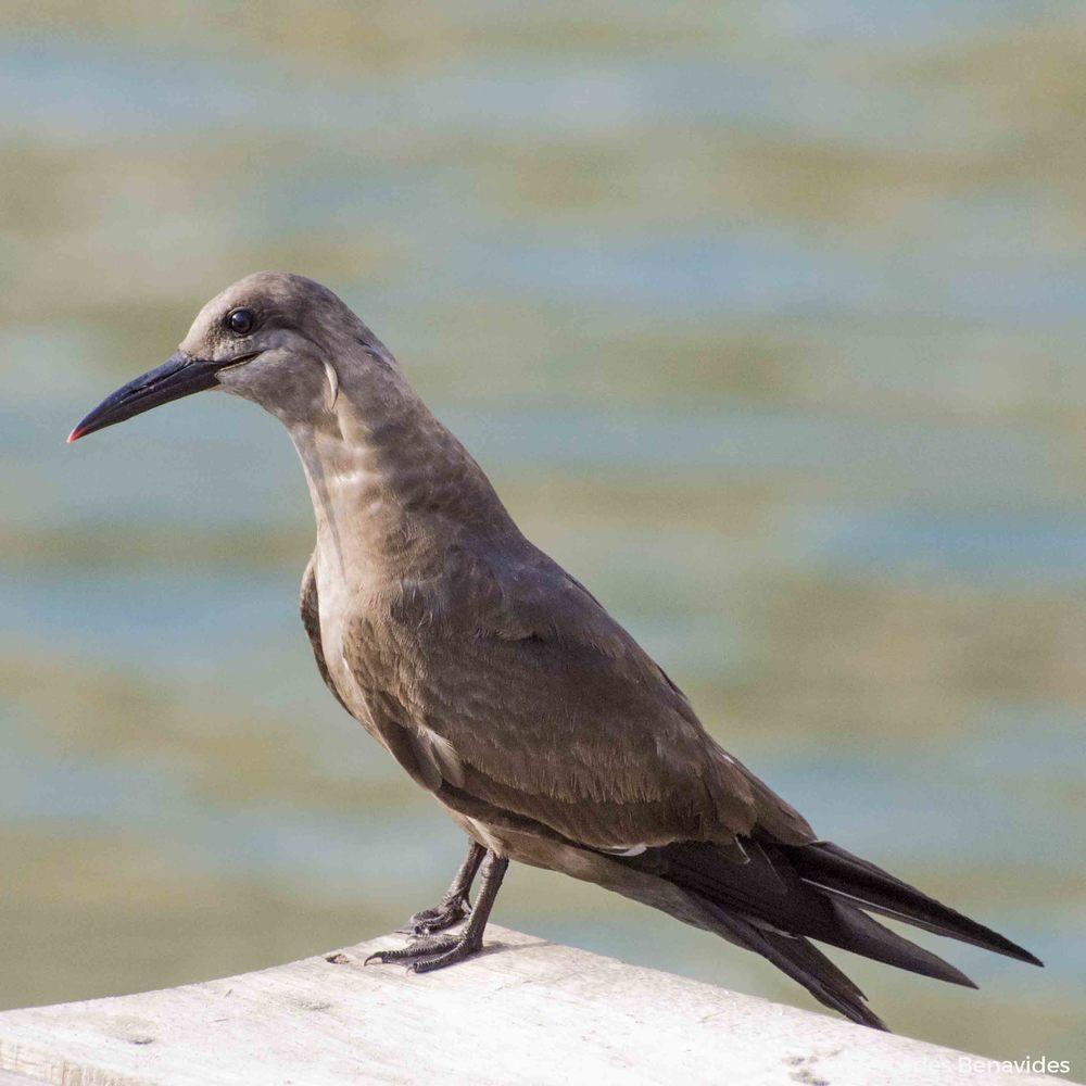 Zarcillo / Inca Tern ( Larosterna inca ) Juvenil / Juvenile  Pucusana, Lima, Perú