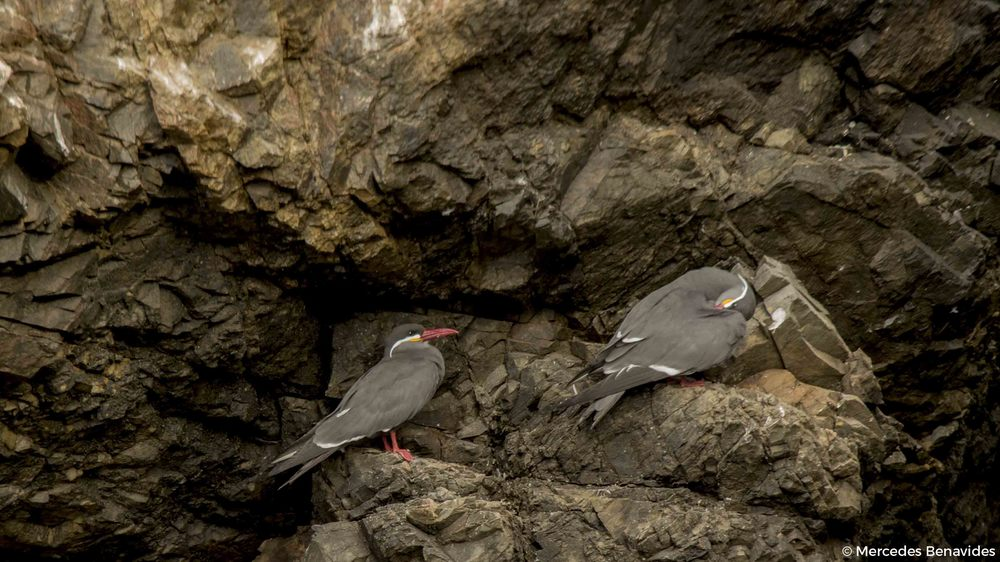 Zarcillo / Inca Tern ( Larosterna inca )  Pucusana, Lima, Perú