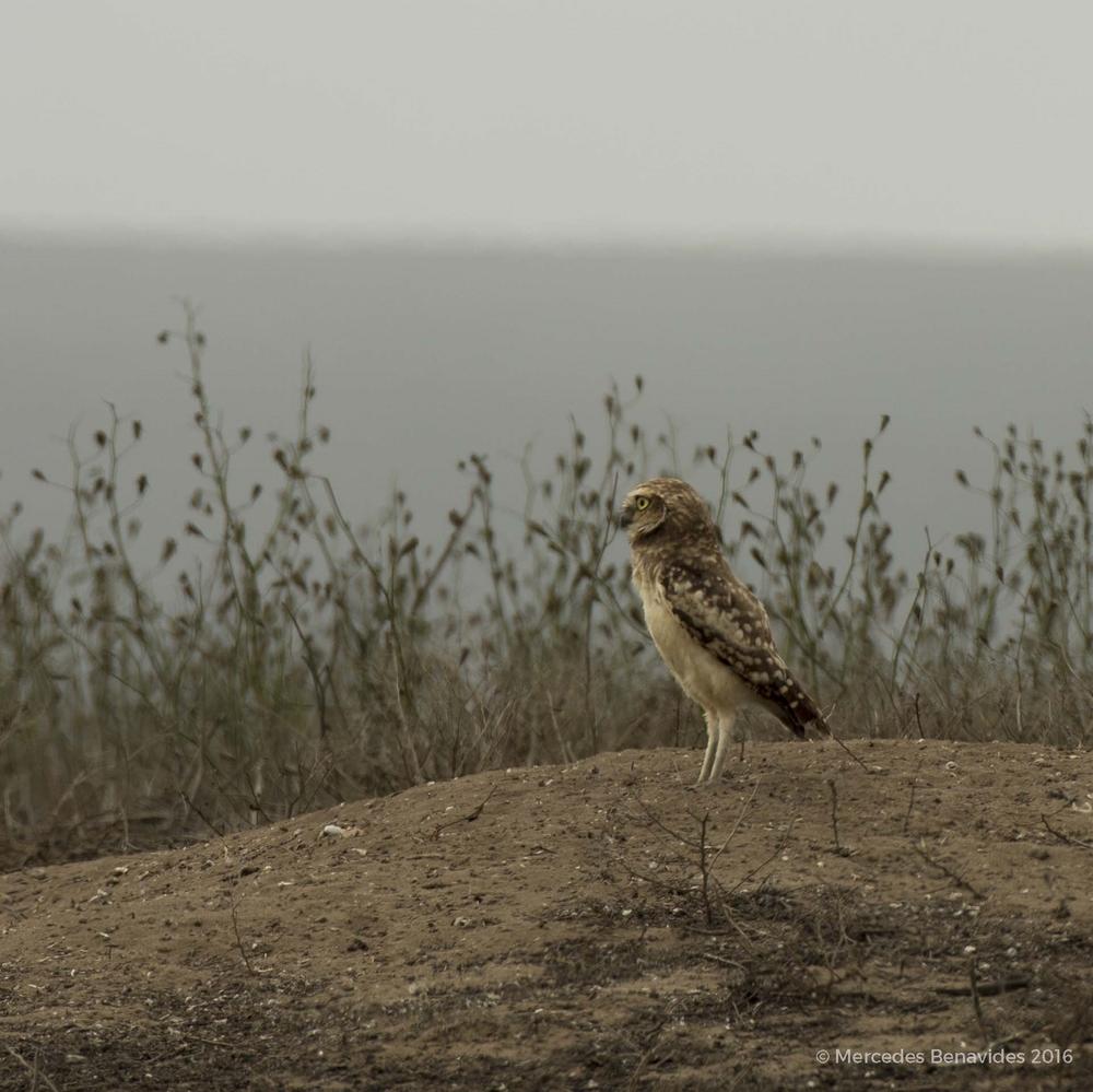 Arenal/Dirt mounds.  Reserva Nacional de Lachay, Lima.