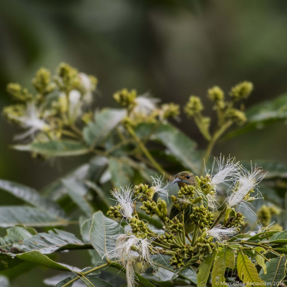 Mielero Cerúleo/Purple Honeycreeper (Cyanerpes caeruleus).  Hembra/Female.