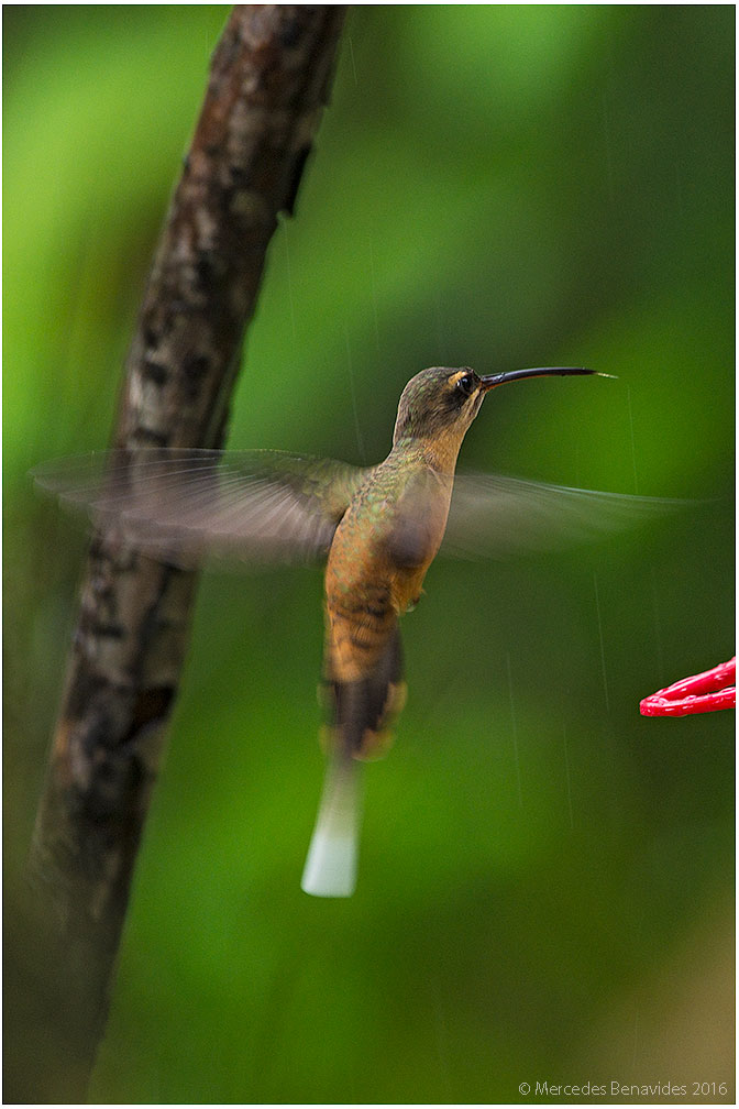 Ermitaño Cola Largo/Long-tailed Hermit (Phaethornis superciliosus)