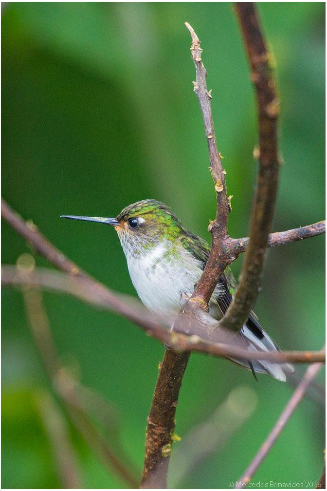 Colibrí Colipinto Ecuatoriano/Ecuadorean Piedtail (Phlogophilus hemileucurus)