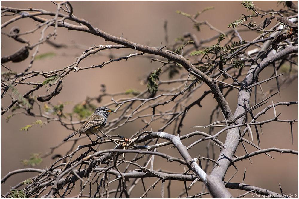 Huarango/Huarango (Prosopis pallida)
