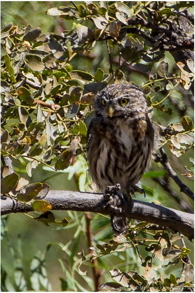 Paca-paca/Peruvian Pygmy Owl (Glaucidum peruanum)
