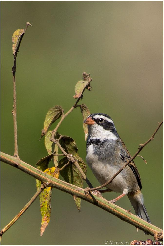 Monterita Acollarada/Collared Warbling-Finch (Poospiza hispaniolensis)