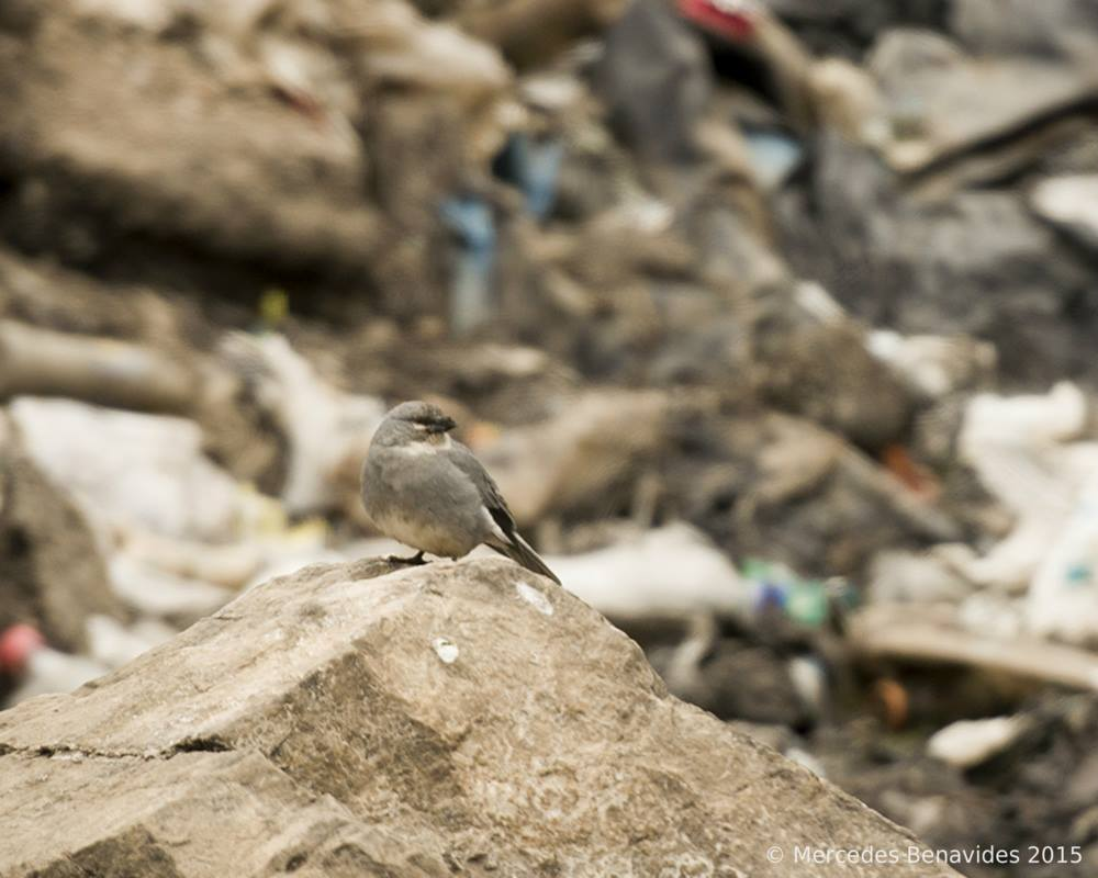 Diuca de Ala Blanca / White-Winged Diuca Finch (Diuca speculifera)