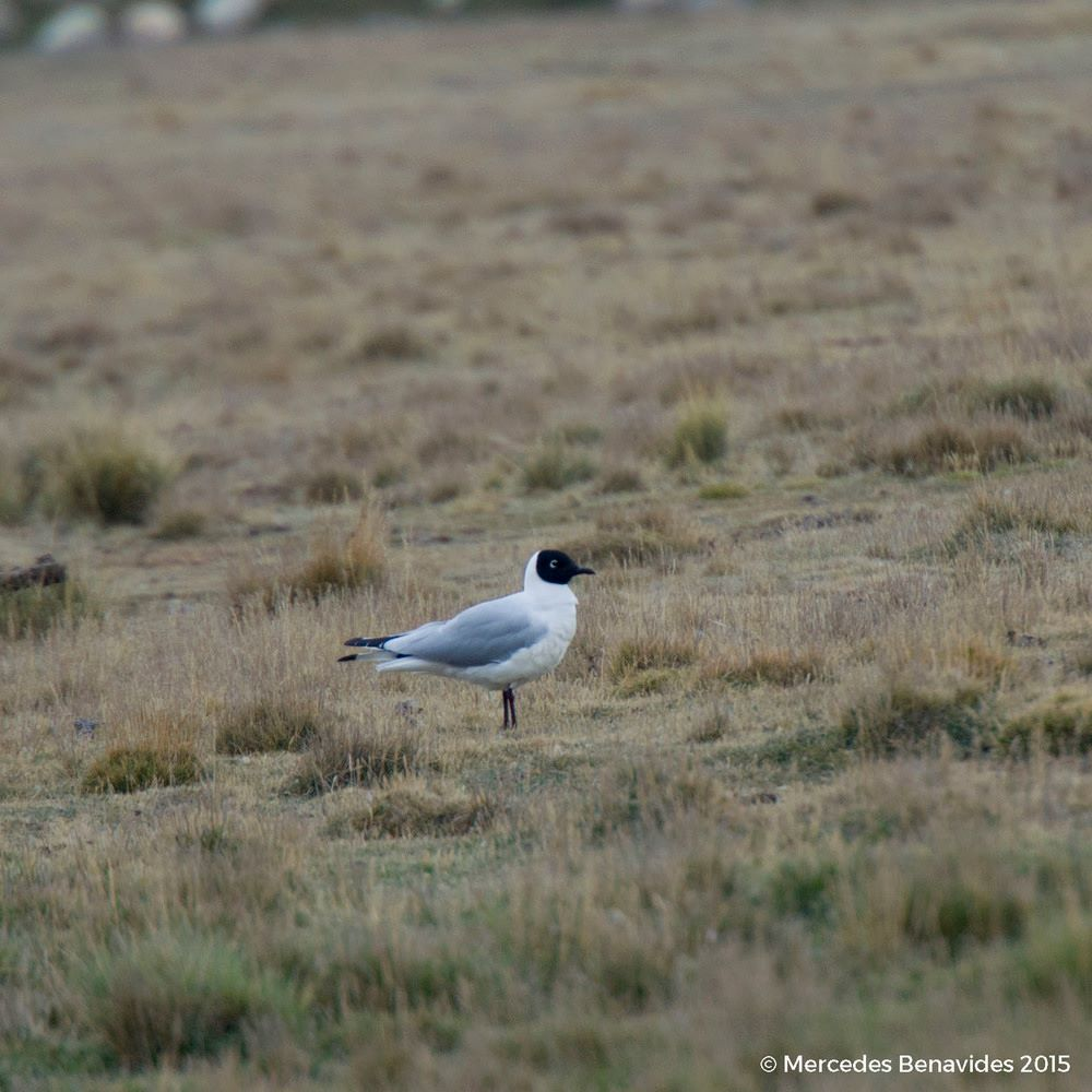 Gaviota Andina / Andean Gull (Larus serranus)