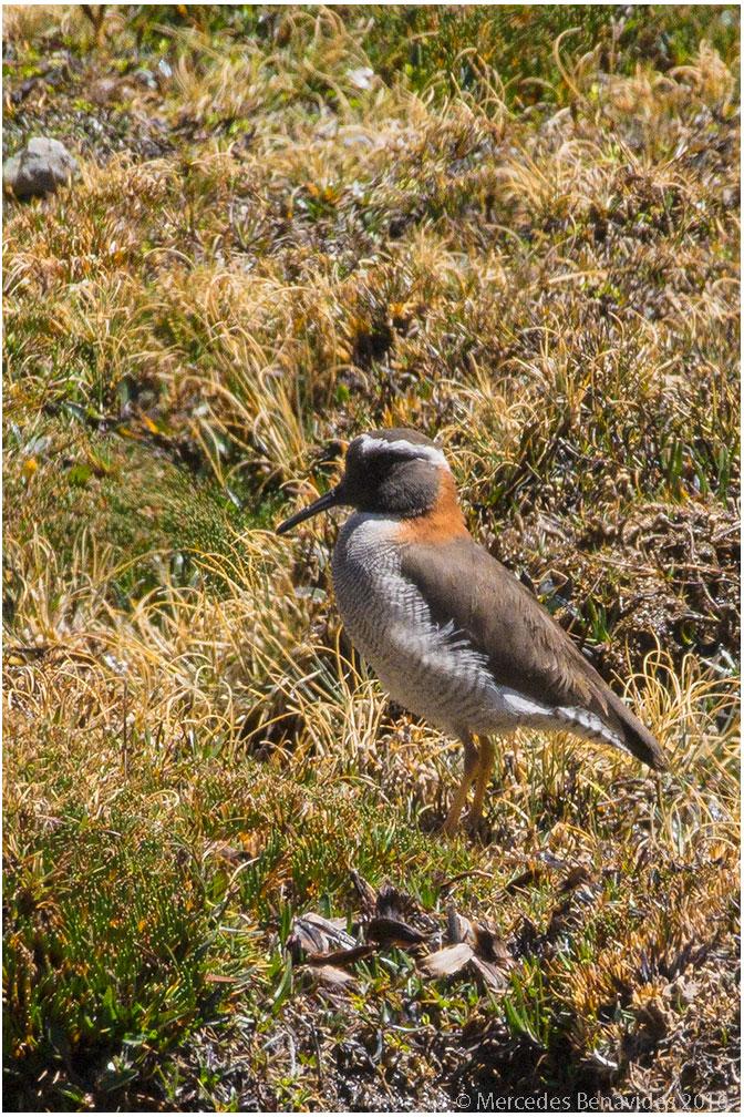 Chorlito Cordillerano / Diademed Sandpiper-Plover (Phegornis mitchellii)