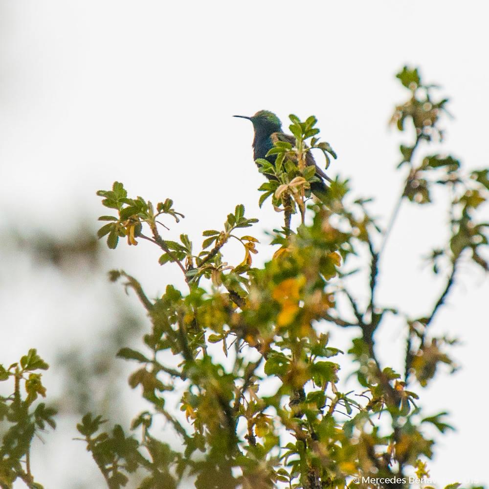 Picaflor Andino Negro / Black-breasted Hillstar (Oerotrochilus melanogaster)