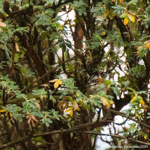 Gorrión Americano / Rufous-Collared Sparrow (Zonotrichia capensis)