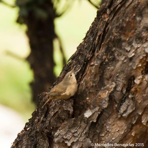 Cucarachero Común / House Wren (Troglodytes aedon)