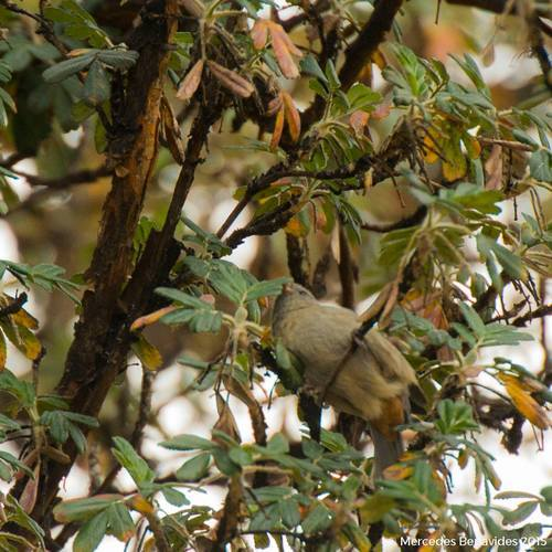 Semillero Andino / Plain-coloured Seedeater (Catamenia inornata)