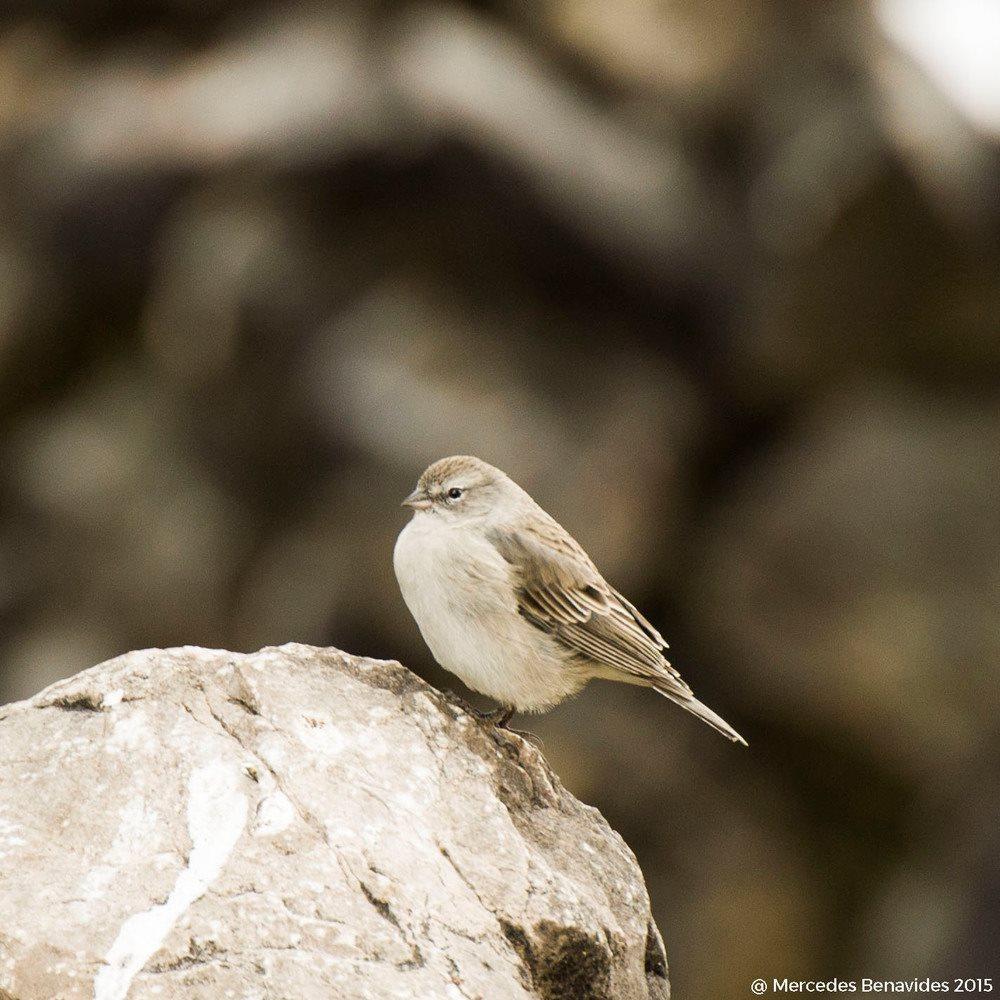 Fringilo Oquencho / Ash-breasted Sierra-Finch (Phrygilus plebejus)