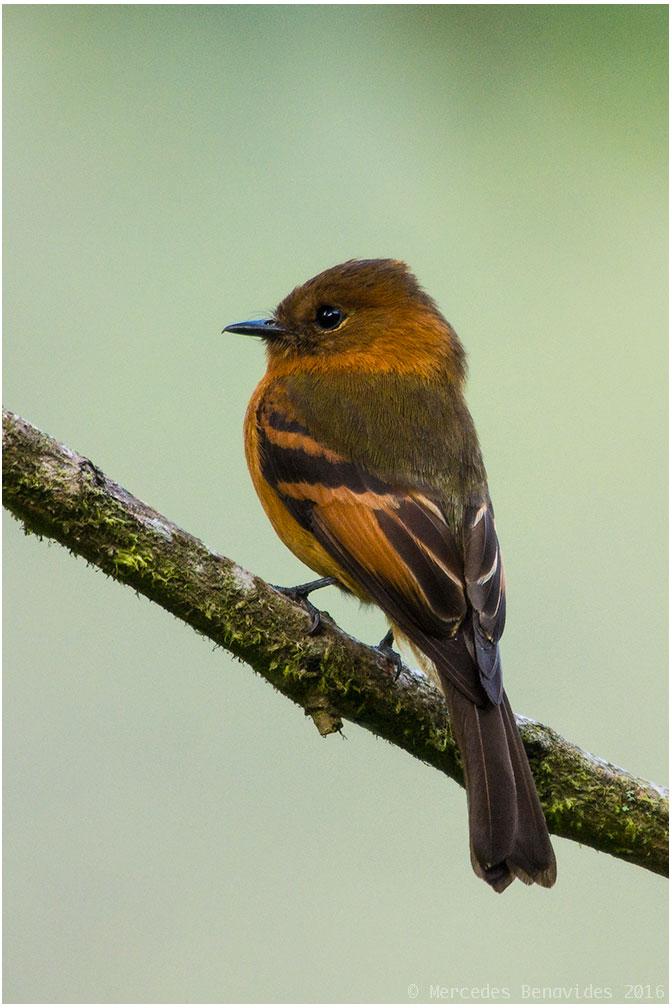 Mosquerito Canela / Cinnamon Flycatcher ( Pyrrhomyias cinnamomeus )