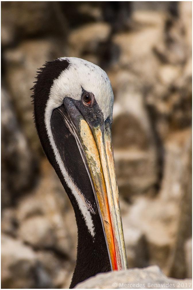 1. Pelicano Peruano /  Peruvian Pelican  ( Pelecanus thagus )  IUCN: (NT) Case Amenazado /  Near Threatened . Residente /  Resident   2 - 2017