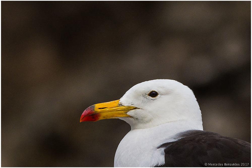 10.  Gaviota Peruana / Belcher's Gull (Larus belcheri)