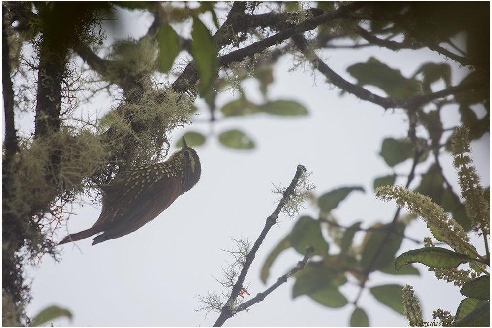 Corretroncos Perlado /  Pearled Treerunner  ( Margarornis squamiger ) 15 cm /  6 in   IUCN: (LC) Menor Preocupación /  Least Concern   Manu Road. Parque Nacional del Manu  / Manu National Park.  Cusco + Madre de Dios, Peru