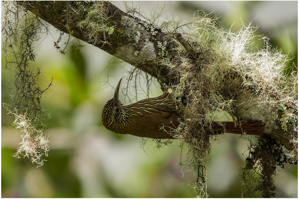 Trepatroncos Montano /  Montane Woodcreeper  ( Lepidocolaptes lacrymiger ) 22 cm /  8 3/4 in   IUCN: (LC) Menor Preocupación /  Least Concern   Manu Road. Parque Nacional del Manu /  Manu National Park . Cusco + Madre de Dios, Peru