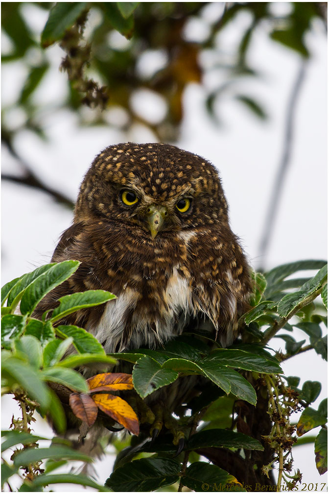 Lechucita Andina / Andean Pygmy-Owl (Glaucidium jardinii)