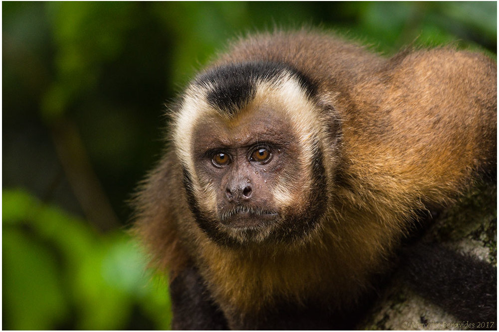 Capuchino de Cabeza Grande / Large-headed Capuchin (Sapajus macrocephalus)