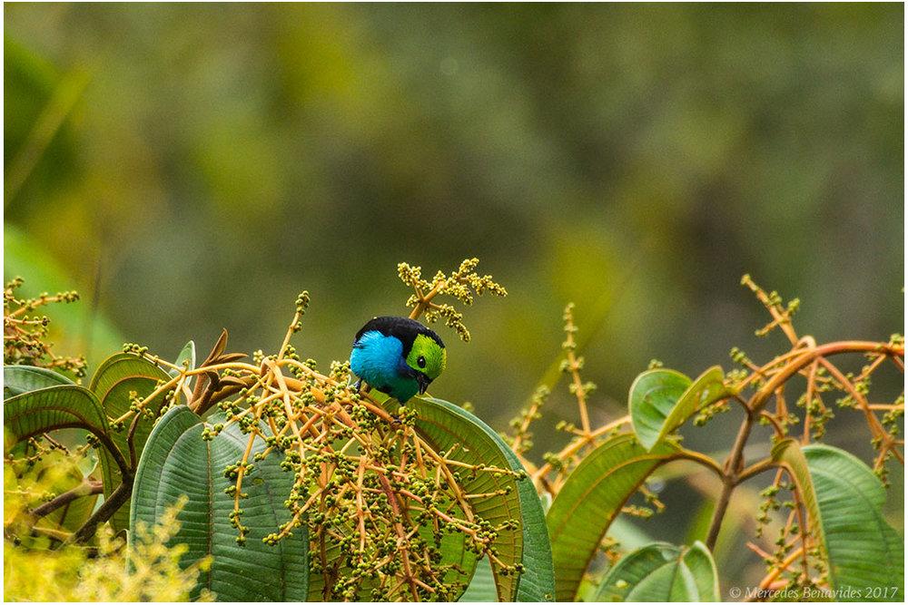 Tángara de Paraíso / Paradise Tanager (Tangara chilensis)