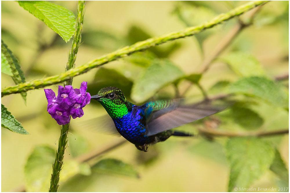 Picaflor Ninfa de Cola Ahorquillada /  Fork-tailed Woodnymph  (Thalurania furcata.) Macho /  Male.  9.5 - 10.5 cm  / 3 3/4 - 4 in   IUCN: (LC) Menor Preocupación /  Least Concern   Parque Nacional del Manú, Cusco + Madre de Dios, PERU