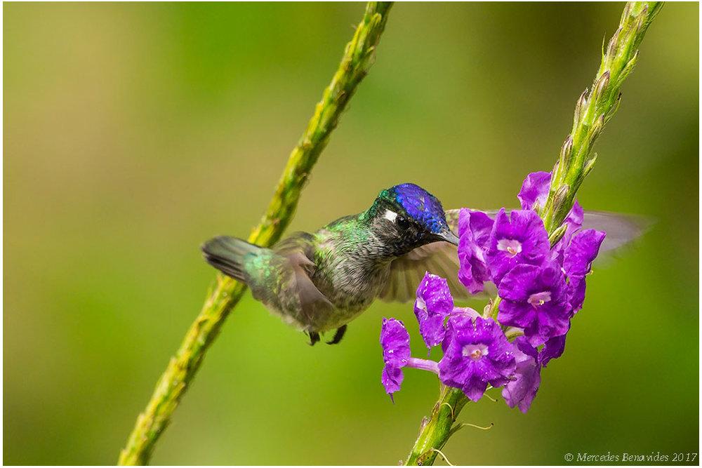 Colibrí de Frente Azul /  Violet-fronted Brilliant  ( Heliodoxa leadbeateri .) 14 cm /  5 1/2 in   IUCN: (LC) Menor Preocupación /  Least Concern   Parque Nacional del Manú, Cusco + Madre de Dios, PERU