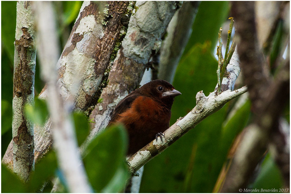 Tangara de Pico Plateado / Silver-beaked Tanager (Ramphocelus carbo) Hembra / Female
