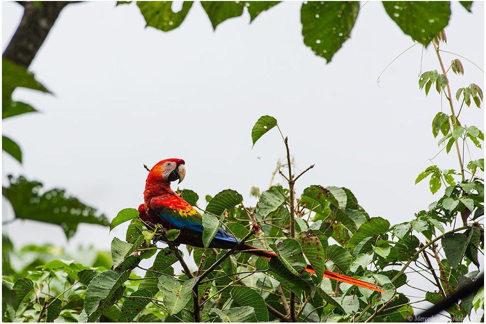 Guacamayo Escarlata / Scarlet Macaw (Ara macao)