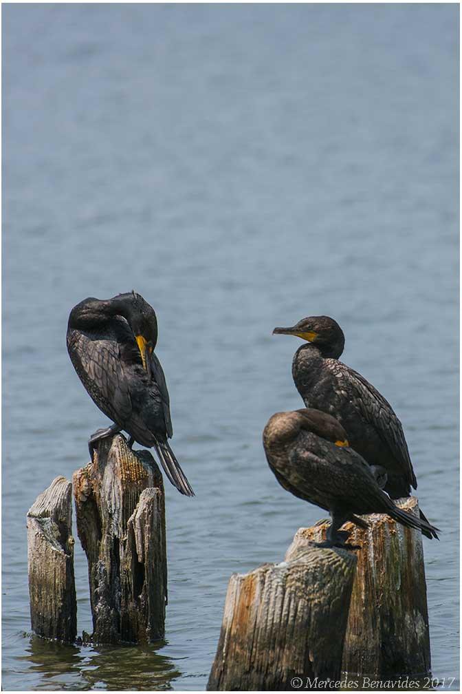 Cormorán Bicrestado / Double-crested Cormorant (Phalacrocorax auritus)