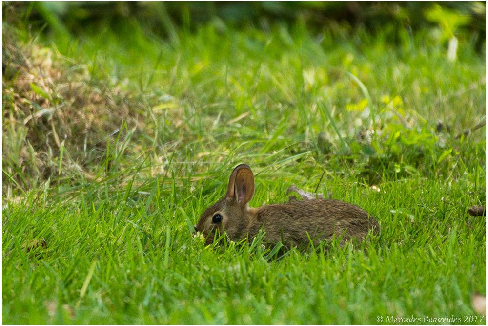 Conejo silvestre / Wild rabbit