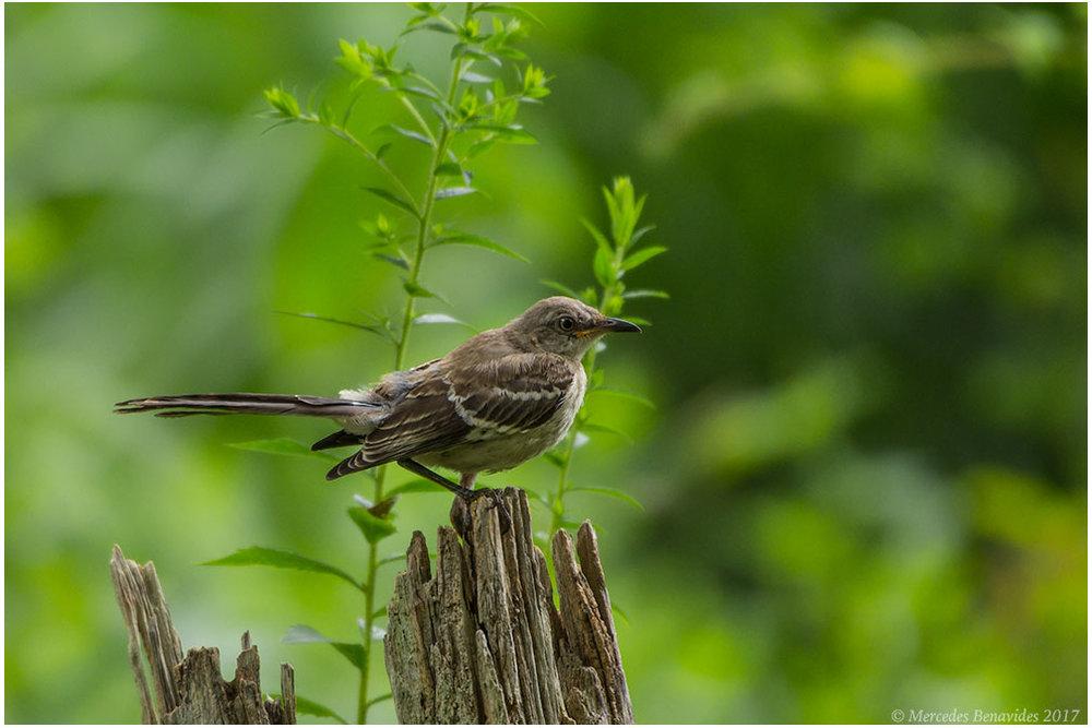 Cenzontle Común /  Northern Mockingbird  ( Mimus polyglottos ). IUCN: (LC) Menor Preocupación /  Least Concern   The Edith G. Read Wildlife Sanctuary, Rye, New York, USA