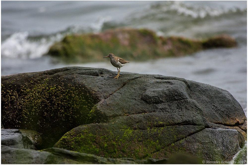 Playero Coleador /  Spotted Sandpiper  ( Actitis macularius ).   IUCN: (LC) Menor Preocupación / Least Concern   The Edith G. Read Wildlife Sanctuary, Rye, New York, USA. Julio/  July  2017.