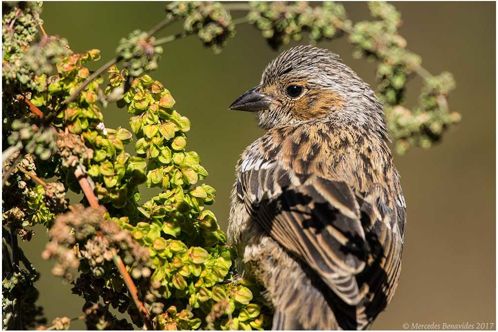 Yal Negro / Mourning Sierra-Finch (Phrygilus fruticeti)
