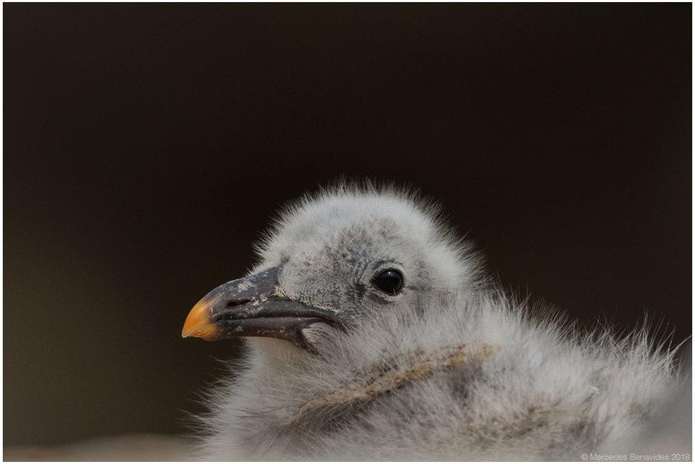 Gaviota Peruana /  Belcher's Gull  ( Larus belcheri ). Pichón  / Chick   IUCN: (LC) Menor Preocupación /  Least Concern   Enero 10, 2018 /  January 10, 2018 . Bahía de Pucusana /  Bay of Pucusana . Lima, PERU