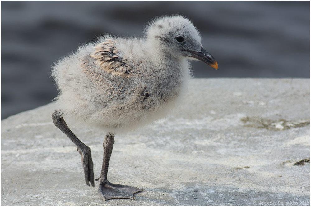 Gaviota Peruana /  Belcher's Gull  ( Larus belcheri ). Pichón  / Chick   IUCN: (LC) Menor Preocupación /  Least Concern   Enero 13, 2018 /  January 13, 2018 . Bahía de Pucusana /  Bay of Pucusana . Lima, PERU