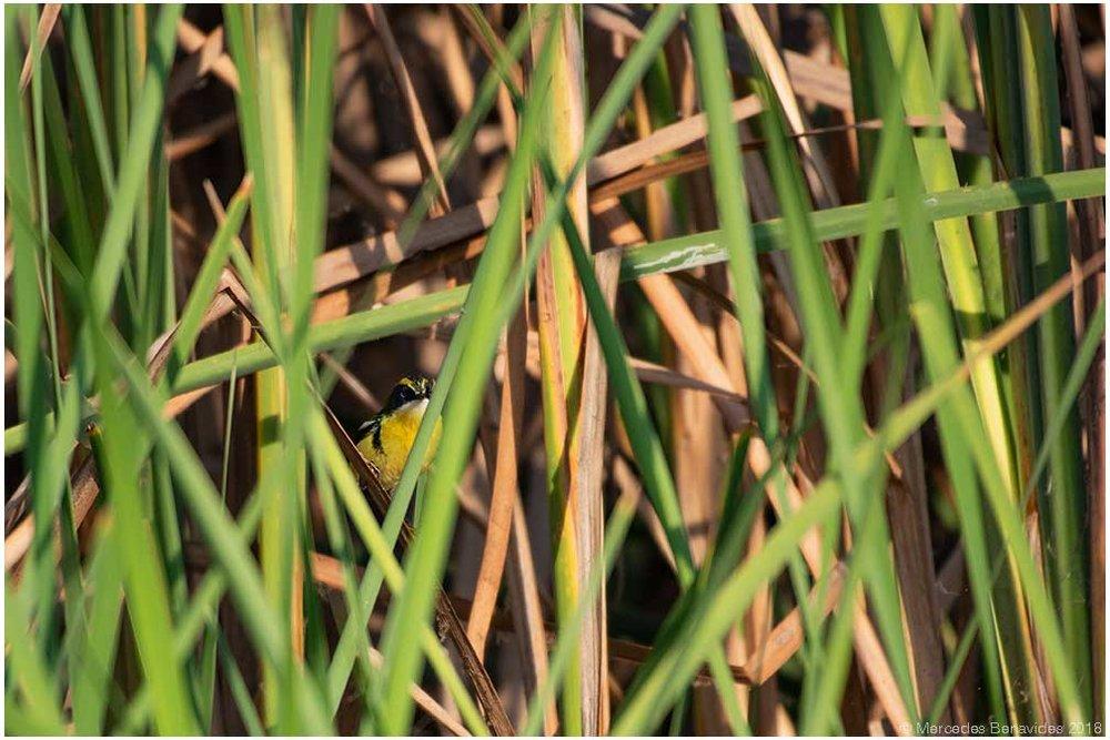 Siete Colores / Many-coloured Rush Tyrant ( Tachuris rubrigastra. ) 10.5 cm / 4 in  IUCN: (LC) Menor Preocupación / Least Concern  Refugio de Vida Silvestre los Pantanos de Villa / Wildlife Nature Refuge of Pantanos de Villa, Lima, PERU