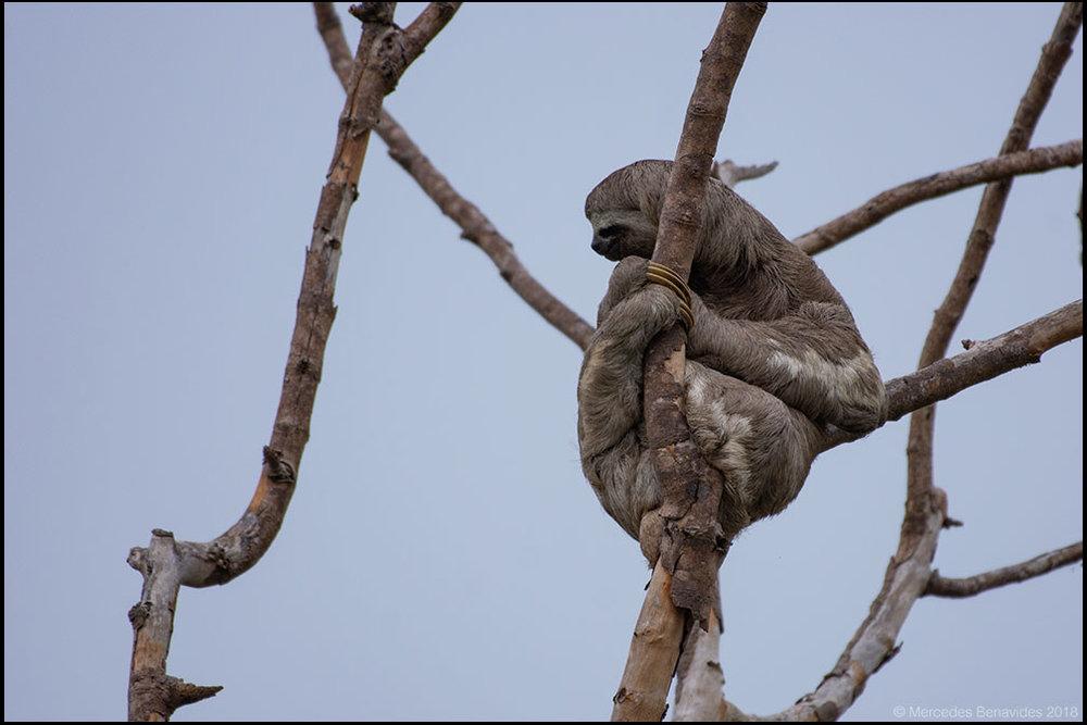 Oso Perezoso  / Three-toed Sloth  ( Bradypus )  Carretera Tarapoto a Bellavista /  Road from Tarapoto to Bellavista,  San Martín, PERU