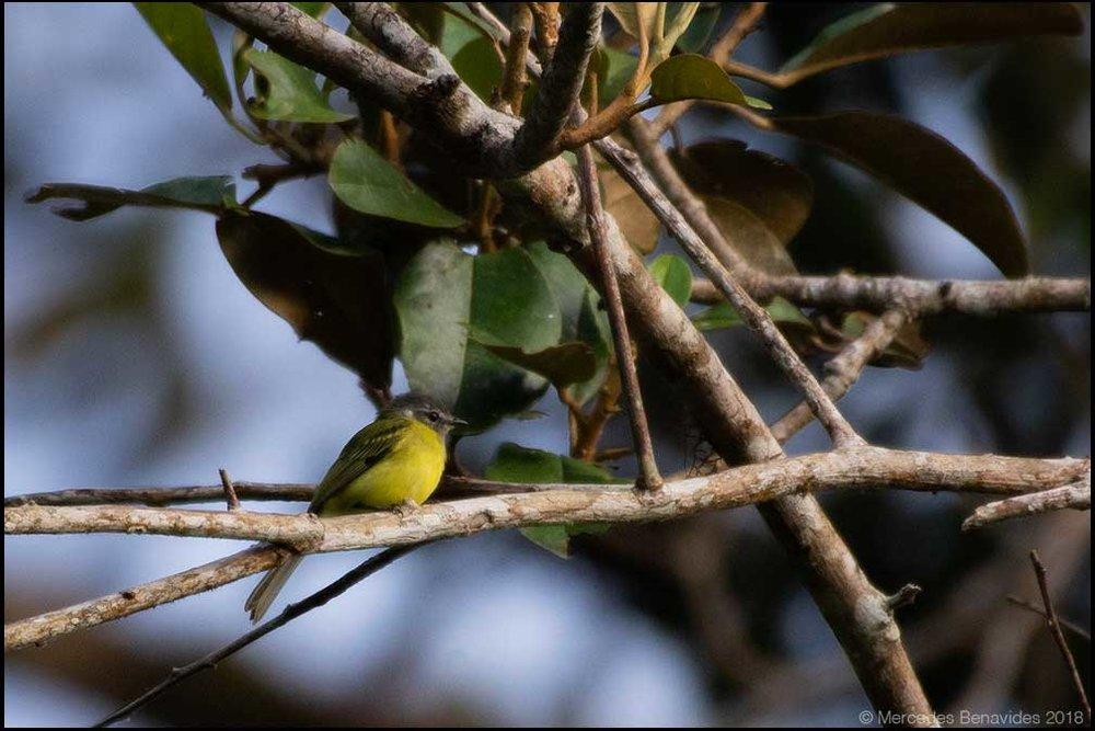 Mosquerito Coroniplomizo / Plumbeous-crowned Tyrannulet (Phyllomyias plumbeiceps)