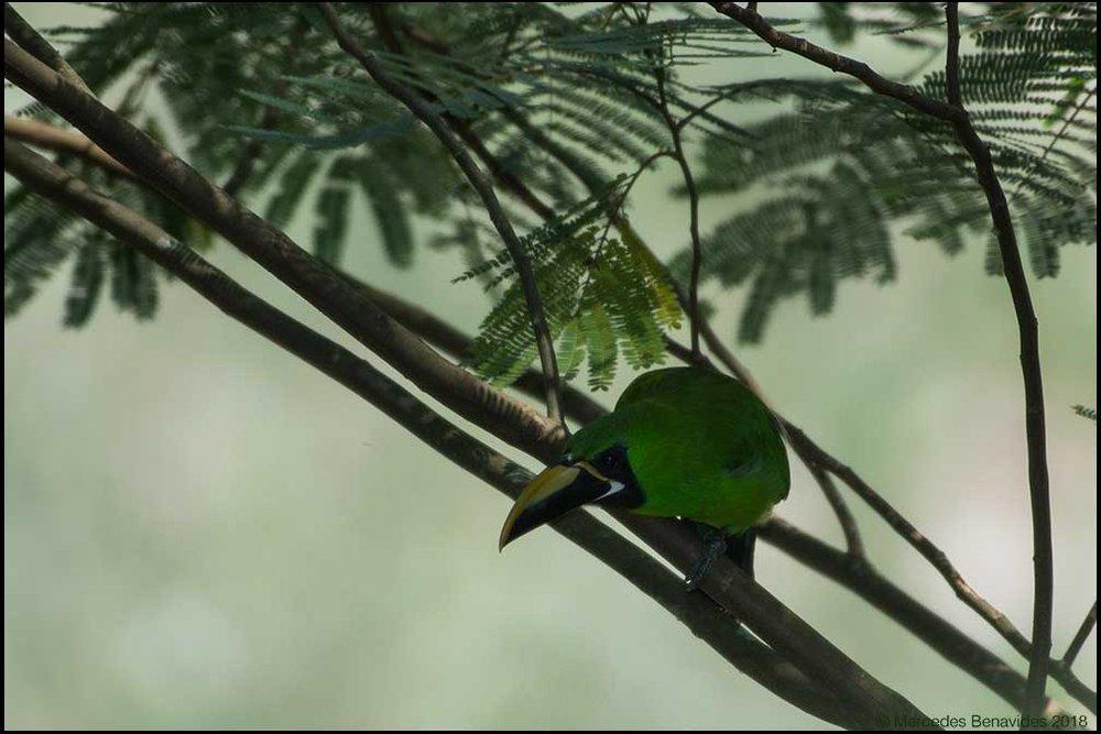 Tucancillo Esmeralda /  Emerald Toucanet  ( Aulacorhynchus atrogularis  ) 29.5 -31.5 cms /  11 1/2 - 12 1/2 ins   IUCN: (LC) Menor Preocupación /  Least Concern   La Auvernia, Distrito de San Ramón, Provincia de Chanchamayo, Departamento de Junín, PERU. 820 msnm /  2,690 fasl