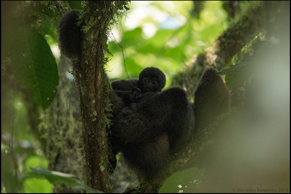 Mono Choro /  Geoffroy's Woolly Monkey  ( Lagothrix cana cana )  IUCN: (EN) Amenazado /  Endangered  Cañón de Huancabamba-Sector Huampal, Parque Nacional Yanachaga-Chemillén, Provincia de Oxapampa, Departamento de Pasco, PERU