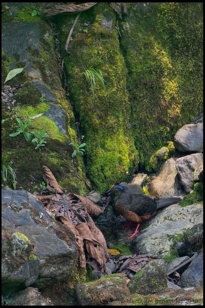 Pava de Tierra Fría /  Sickle-winged Guan  ( Chamaepetes goudotii ) 61-63.5 cms /  24-35 ins   IUCN: (LC) Menor Preocupación /  Least Concern   Cañón de Huancabamba-Sector Huampal, Parque Nacional de Yanachaga-Chemillén, Provincia de Oxapampa, Departamento de Pasco, PERU