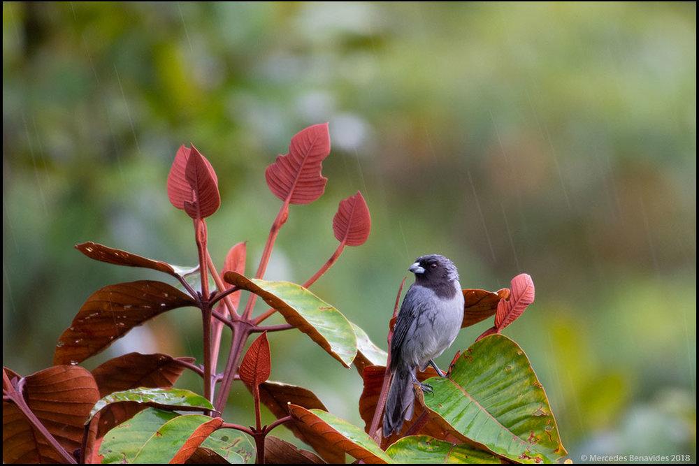 Tangara Frutero de Cara Negra /  Black-faced Tanager   (Schistochlamys melanopis )  IUCN: (LC) Menor Preocupación /  Least Concern   Fundo Alto Nieva, San Martín, Perú