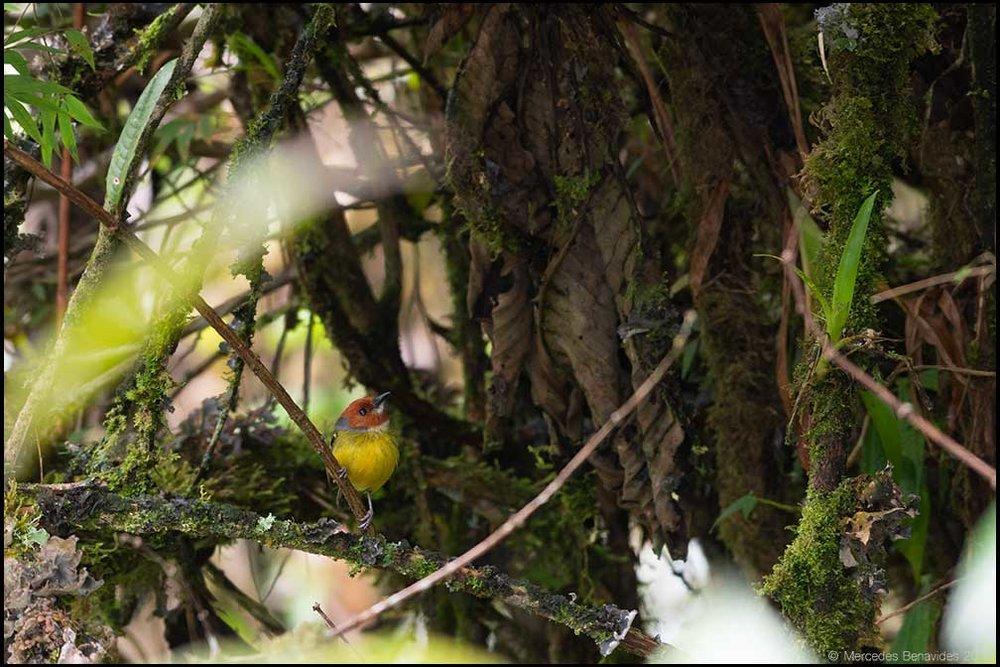 Espatulilla de Johnson /  Johnson's Tody-flycatcher  ( Poecilotriccus luluae. ) 9.5 cms /  3 3/4 ins   IUCN: Riesgo de Extinción /  Risk of Extinction : (EN) En Peligro /  Endangered   Carretera Fernando Belaúnde Terry Km. 364, Provincia Yambrasbamba, Distrito Bongará, Amazonas, PERU